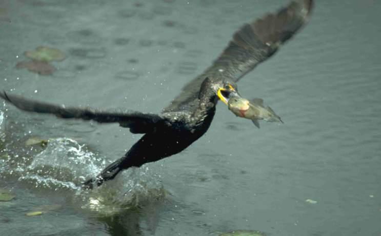 Schwarzer vogel mit orangenem schnabel